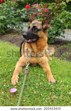 German Shepherd, young German Shepherd, German Shepherd on the grass, German shepherd and red roses, dog in the park