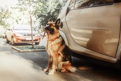 German shephered dog sitting near car with leash in her mouth.