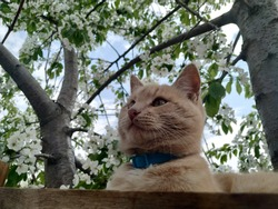 Ginger cat sits in cherry blossoms