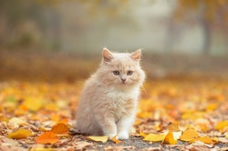 ginger fluffy kitten. walk with the animal autumn. cat plays in the leaves