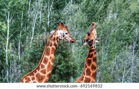 2 Giraffes playing #692169832