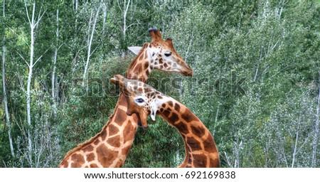 2 Giraffes playing necks #692169838