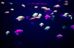 Glofish, Ornatus. Fish in the Aquarium Ornatus. Marine underwater background