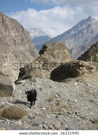 Goat climbing across rocks near Hunza, Pakistan
