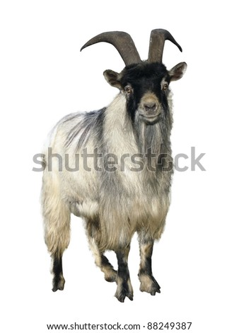 goat. Isolated over white background