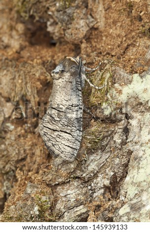 Goat Moth (Cossus cossus) camouflaged on oak