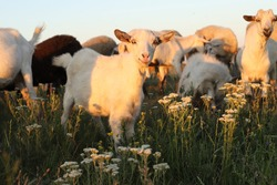Goats and sheep graze in a field at sunset