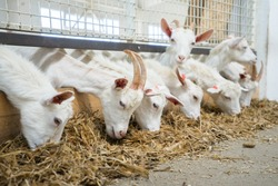Goats eat hay or grass on the farm. Farm livestock farming for the industrial production of goat milk dairy products