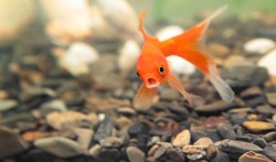 gold fish surprise and open mouth