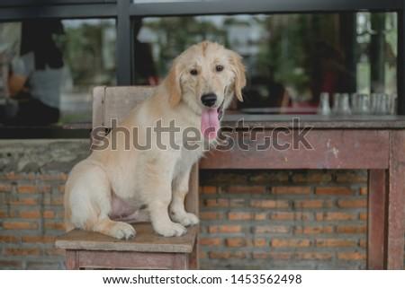 Golden dog Holidays and holidays Resting dog #1453562498
