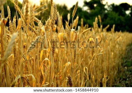 Golden ears of wheat. Wheat field. Wheat grain.