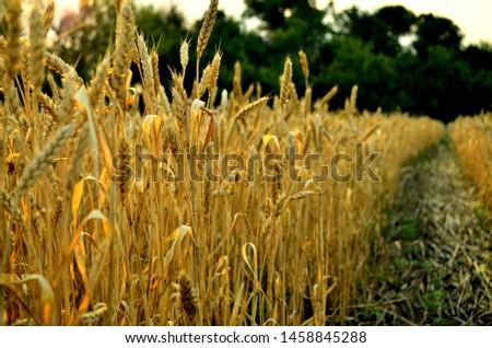 Golden ears of wheat. Wheat field. Wheat grain. Harvest
