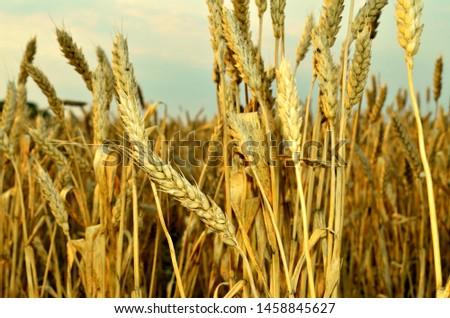 Golden ears of wheat. Wheat field. Wheat grain. Harvest Fields.