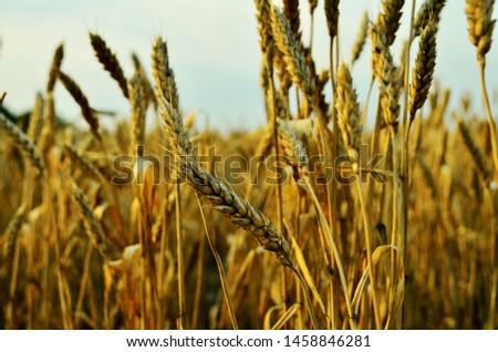 Golden ears of wheat. Wheat field. Wheat grain. Harvest Fields. The nature of Ukraine.