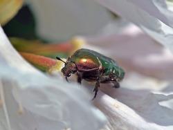 golden green rose chafer on a azaelea flower in springtime