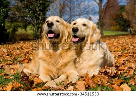 2 Golden Retriever dogs lying down in field of fallen autumn fall leaves - stock photo