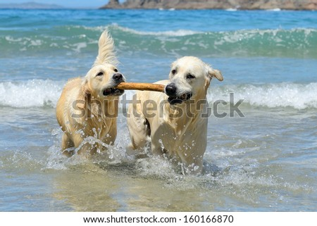 golden retriever dogs playing with stick in the water