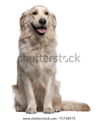 Golden Retriever, 2 years old, sitting in front of white background - stock photo
