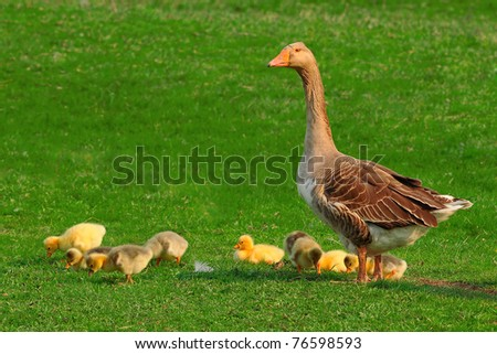 goose  on a green background - stock photo