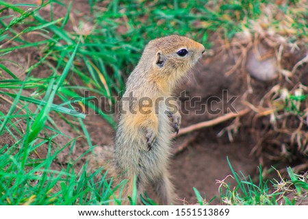 gopher in the park climbed out of the mink
