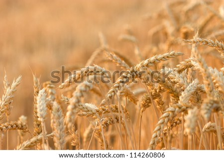 Grain field illuminated by rays of the setting sun
