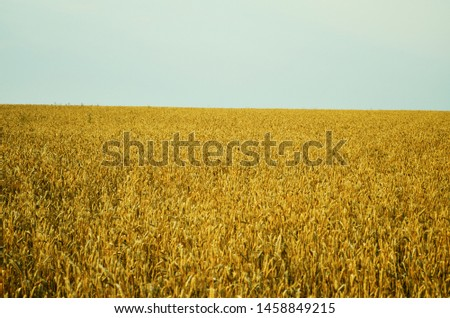 Grain field. Wheat field. Golden field.