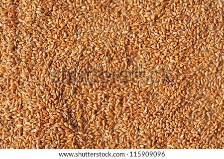 Grains of wheat in closeup view perfect agriculture texture image