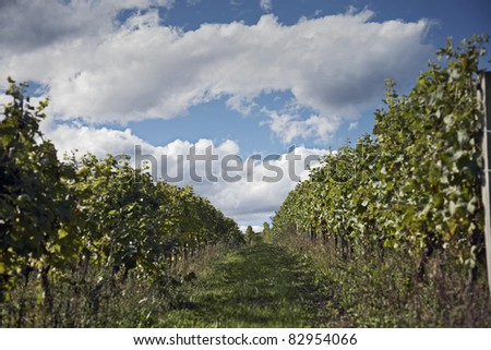 grapes bushes in vineyard under cloudy sky