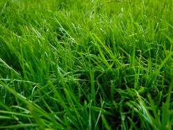 Grass, gramineas close up