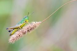 Grasshopper Chorthippus Montanus sitting on a  dry stalk.
