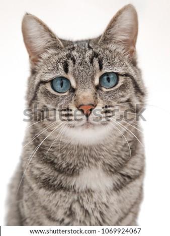 gray bearded cat on light white background