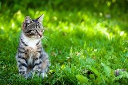 Gray-brown striped kitten with a white breast on a green grass background. Little cute kitten.Outbred domestic cat. Mestizo kitten.Yard cat.Pet walks in the yard.Home pet.The kitten looks away.