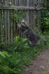 Gray cat scratches its claws on the fence
