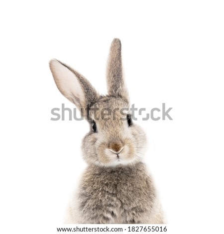 gray rabbit bunny on a white background