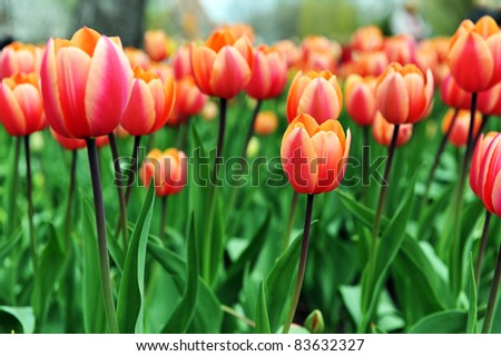 great amount of red  tulips.  tulips in  typical  landscape.
