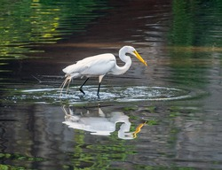 great egret ,Ardea alba, also known as the common egret, large egret, or great white egret or great white heron