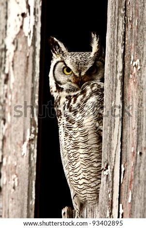 Great Horned Owl perched in barn window