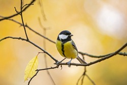 great tit (Parus major) in the autumn entourage. The great tit (Parus major) is a passerine bird in the tit family Paridae.