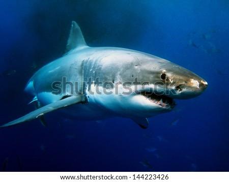 Shutterstock                                Great White Shark Underwater Photo