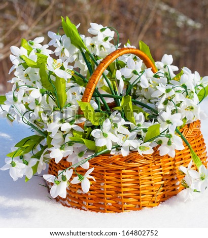 greater basket with snowdrops costs in a snow