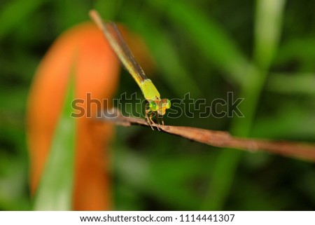 Green and yellow Dragonfly