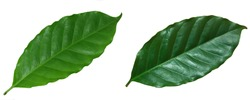 green, Coffee leaf  isolated on white background.