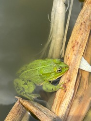 Green frog sitting in a pond
