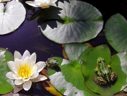 Green frogs in a pond with lilly pads