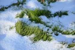 Green grass makes its way through snow in autumn in Siberia