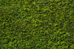 Green hedge wall pattern (Thujopsis dolabrata)