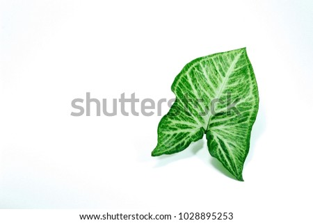 Green leaf Golden pothos and White Background #1028895253