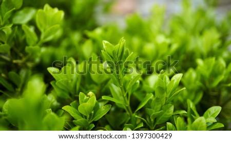 green leaves green leaves green leaves     #1397300429