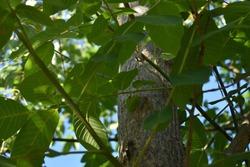 green leaves of walnut tree