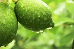 green lemons in dew